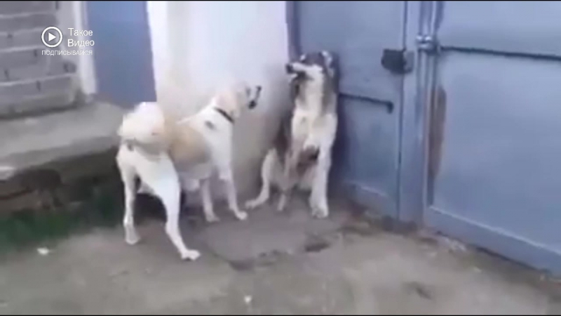 Пес не при делах
