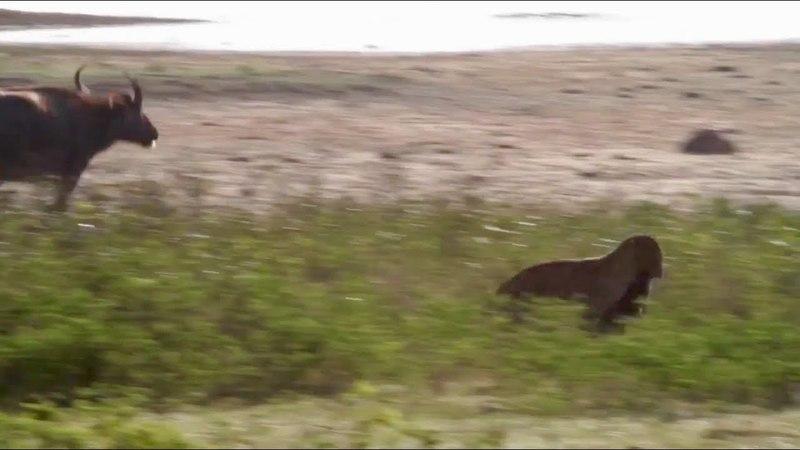 Схватка двух леопардов