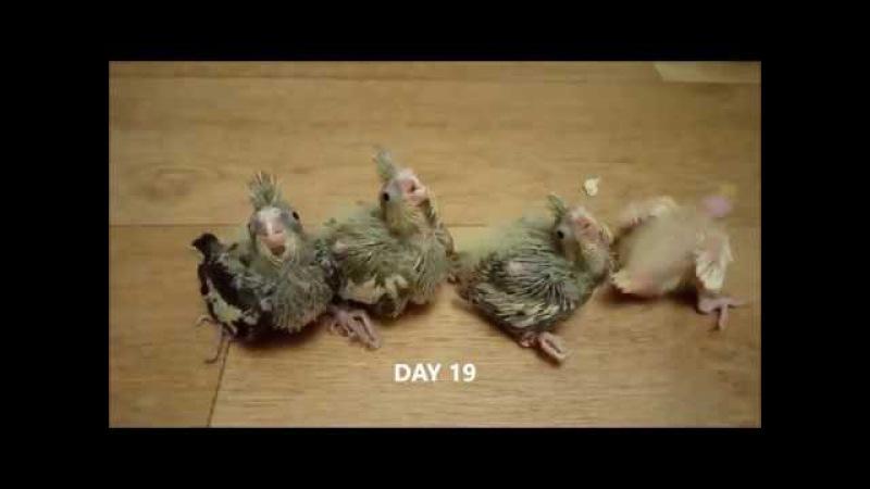 ПОПУГАЙ КОРЕЛЛА ОТ ЯЙЦА ДО ПТИЦЫ: как растут птенцы
