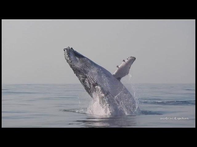 40-тонный кит полностью выпрыгивает из воды и резвится как ребёнок!
