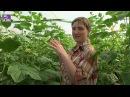 Выращивание огурцов в теплице, наш первый опыт