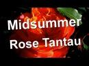 Midsummer Rose Tantau