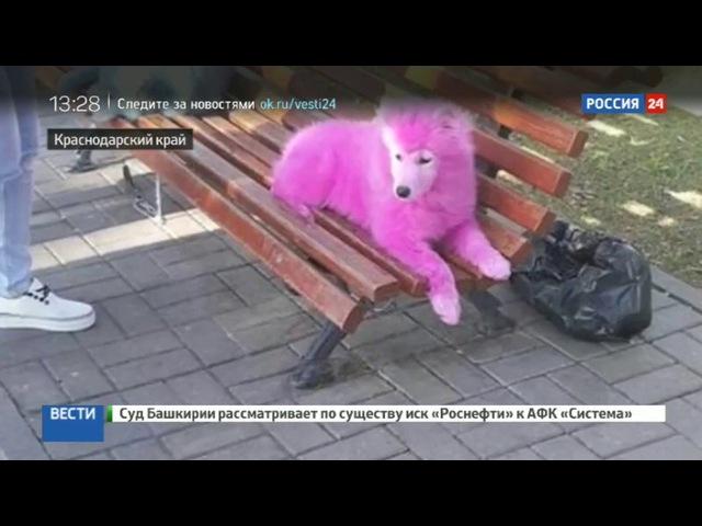 Новости на Россия 24 Розовые лайки в Геленджике спасли двух брошенных в лесу самоедов третьего ищут