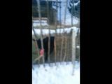 Чара, камерунская коза