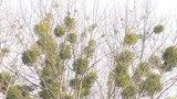 Как в Пинске спасают деревья от паразита омелы