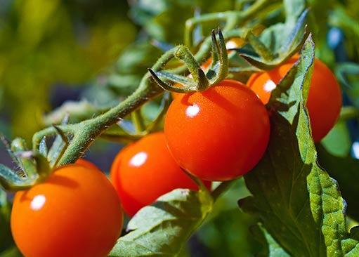 Как сохранить урожай томатов до нового года