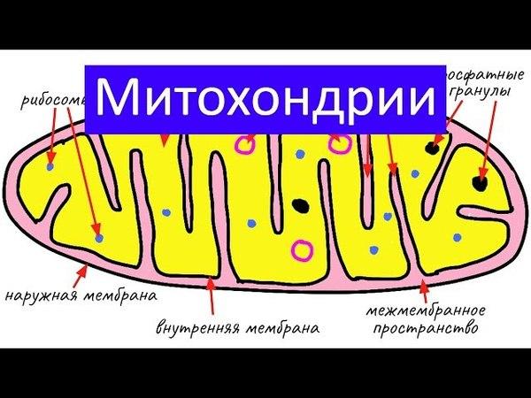 Строение клетки: митохондрии | самое простое объяснение