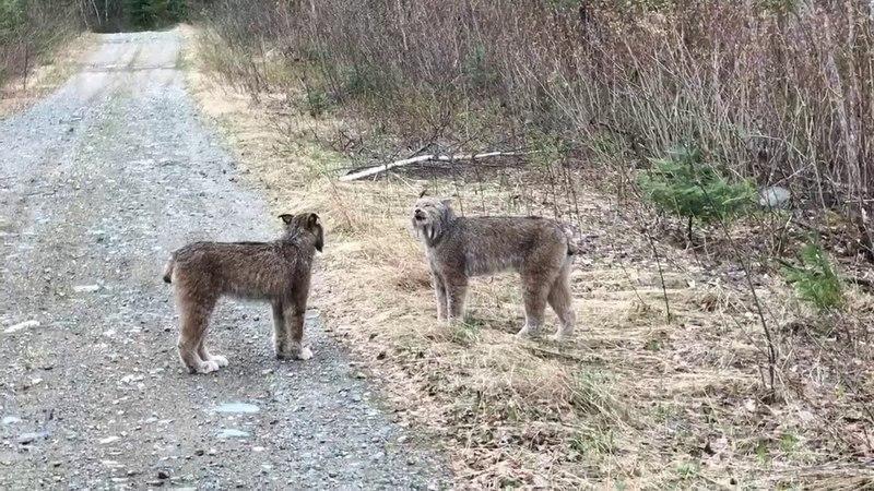 Две рыси делят территорию. В мире животных. Рыси, коты, кошки, усатые подонки)