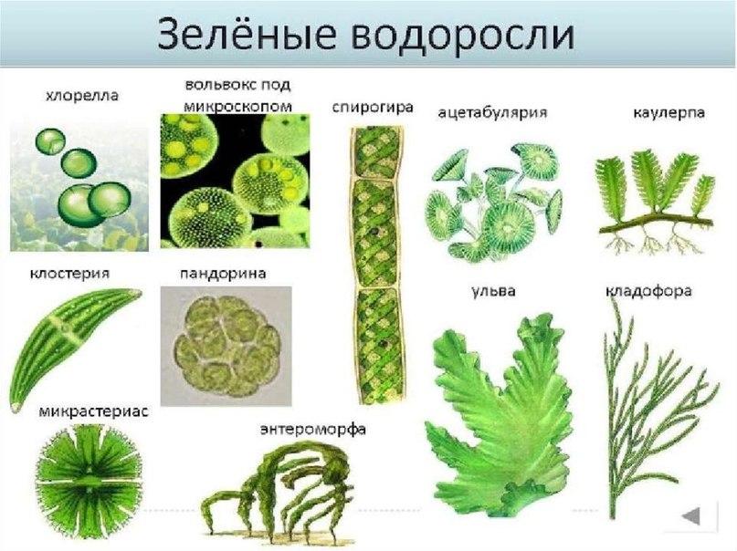 вольвокс многоклеточная водоросль