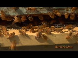 Beekeeping|Starting Natural Beekeeping, Organic bees keeping| bees and beehives Clip1