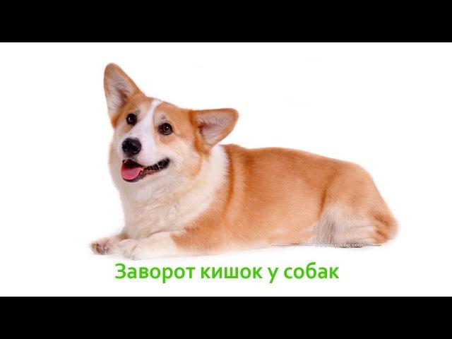Заворот кишок у собак