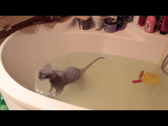 Лысый кот купается в ванне
