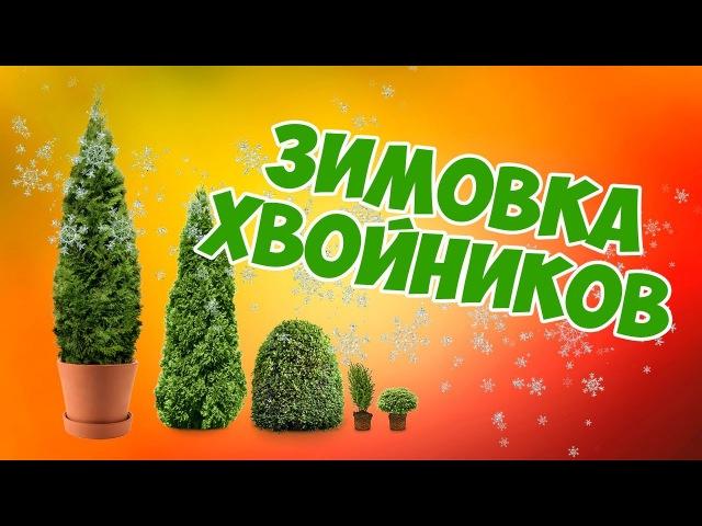 Хвойные растения зимой 🌲 Перезимуют ли хвойники в контейнере?