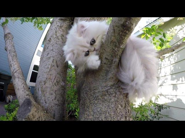 16 07 12 Cute Persian kitten, Krakatoa, discovers the tree