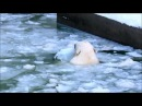 Открытие купального сезона у белых медведей. 27.02.18г.