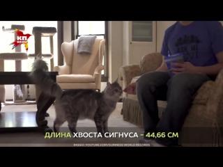Определён кот с самым длинным хвостом