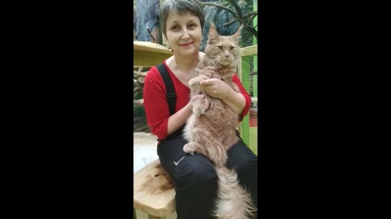 Контактный зоопарк местный кошак породы МЕЙН КУН смотреть онлайн без регистрации