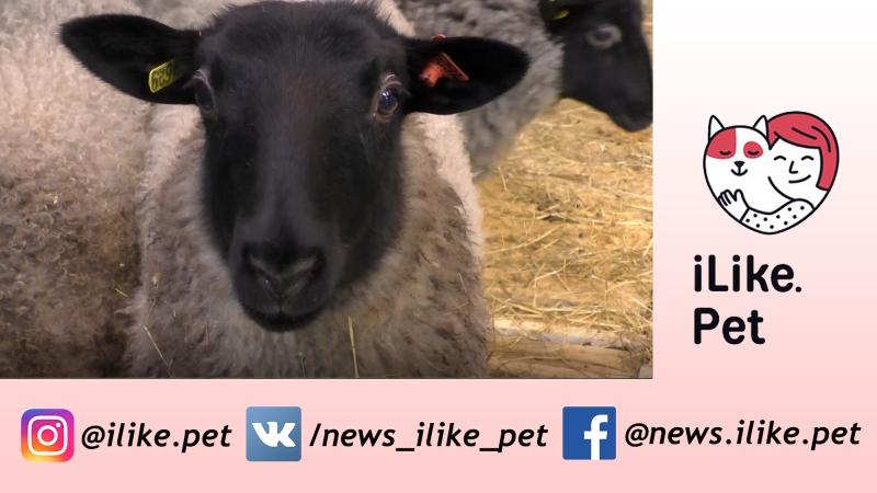 Романовская овца. Особенности породы, уход на ilike.pet