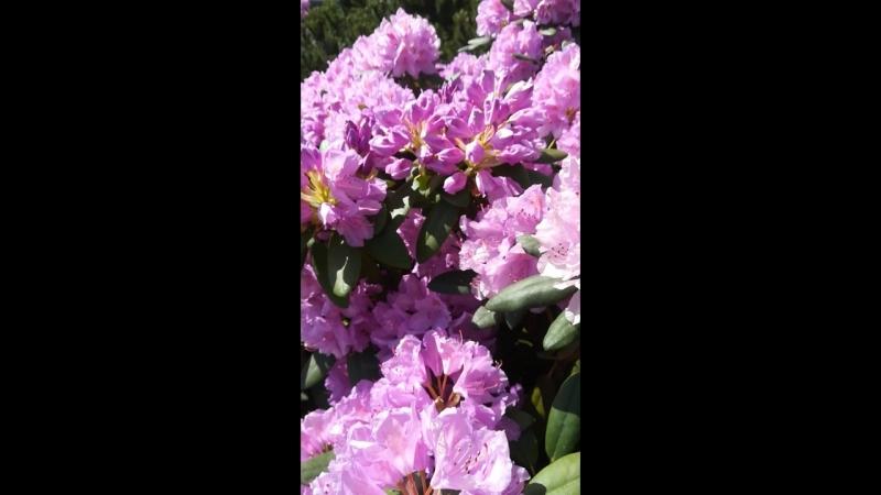 Куст-рододендрон (красотааа)