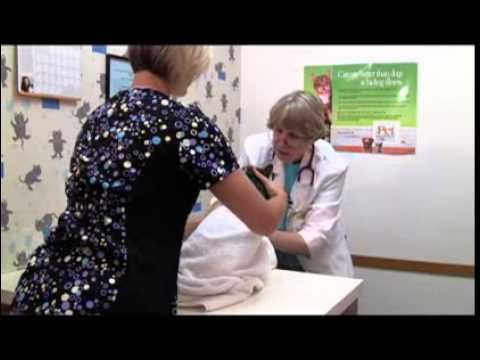 Фиксация кошки при взятии крови из ярёмной вены An effective hold for a jugular blood drawn