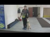 Западно-сибирская лайка Джейк. Занятие по дрессировке: подзыв собаки. Тольятти, 22 октября 2017.