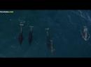 К горбатому киту пристали дельфины