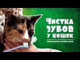 ЧИСТКА ЗУБОВ у кошек Профилактика зубного камня + Лайфхак Как почистить зубы коту