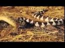 Королевская змея атакует гремучую змею