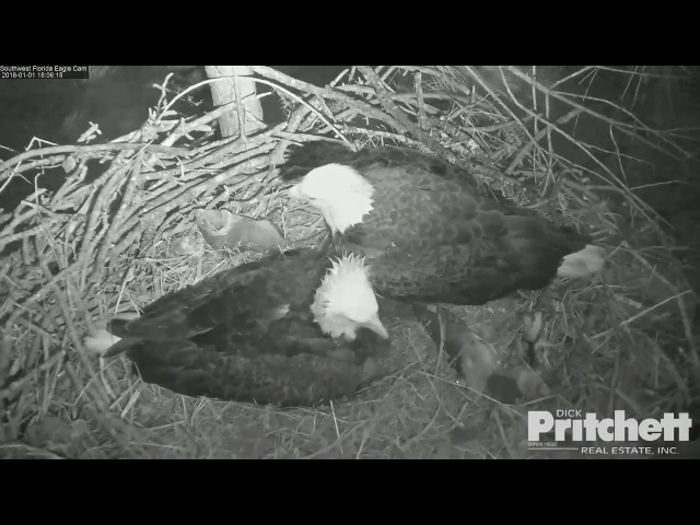 SWFL Eagles ~ M15 Helps Harriet Shelter Babies From The Storm 1.1.18