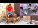 Телохранители для хрюшек. Немецкие овчарки Алхан и Вишня. German Shepherds guard pigs.