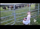 Little girl serenades herd of cows