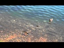 Pike eats baby duck Fairbanks AK