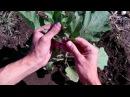 Как формировать баклажаны /Как пасынковать баклажаны / Выращивание баклажан в открытом грунте