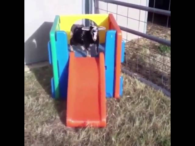 Goat sliding down a slide