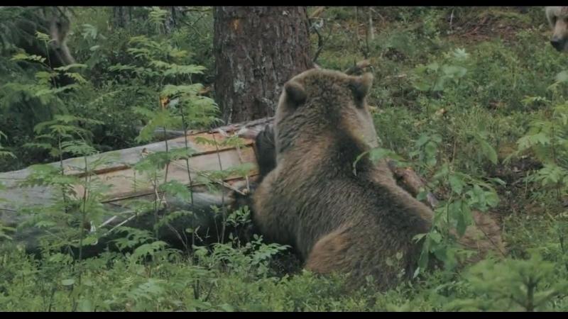 Россия царство тигров медведей и вулканов 2011
