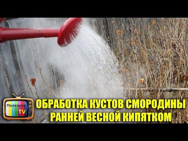 ОБРАБОТКА КУСТОВ СМОРОДИНЫ РАННЕЙ ВЕСНОЙ КИПЯТКОМ