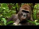 Дикие животные. Мир Африки. Приматы. Жизнь горилл в джунглях Конго. Документальн ...
