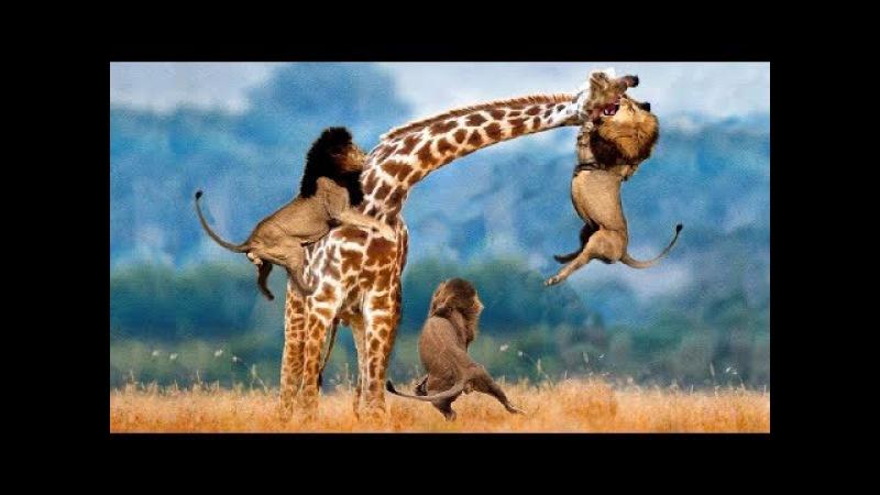 Bị hươu cao cổ đạp chí mạng sư tử phẫn nộ tấn công hươu con và cái kết - 5 Lion vs Giraffe