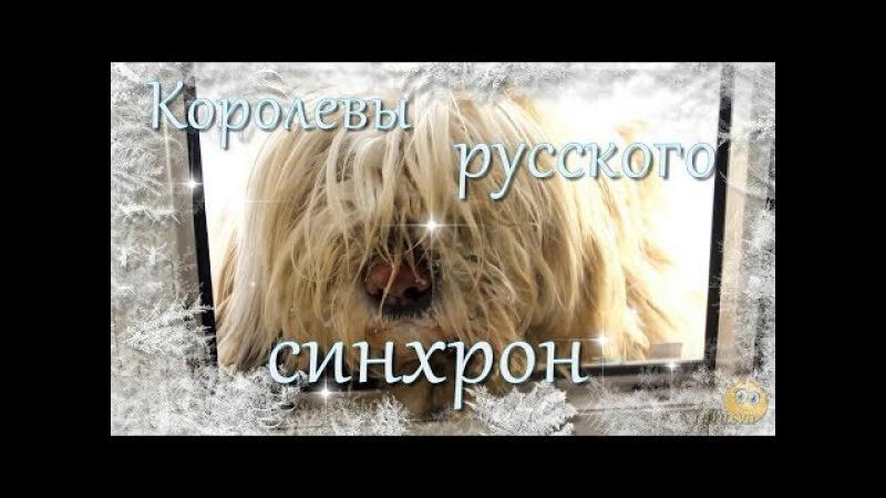 Королевы русского синхрона Южнорусские овчарки Бара и Дана