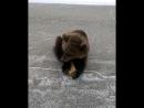 В Якутске дрессированный медведь сбежал из клетки и вышел на дорогу