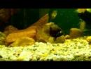 Психованная рыба-оборотень