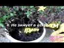 Наши любимицы-хризантемы