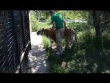 СЧАСТЛИВАЯ МАТЬ !Амурская тигрица ВАСИЛИСА родила 4 тигренка