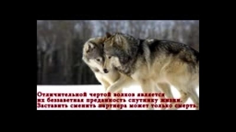 [v-s.mobi]Алабай против Волка.3gp