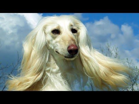 Afghanischer Windhund Rasse - Charakter Wesen