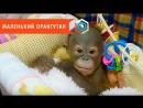В Новосибирске детский нейрохирург спас новорожденного орангутана