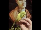 Попугай повторяет Харе Кришна