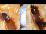It's a Goopy Mess When Pines and Beetles Duke it Out  (Deep Look)