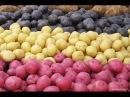 Высокоурожайные сорта картофеля мини-клубней !