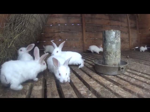 Переезд кроликов из клетки в вольер.